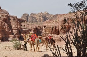Camels in the old city