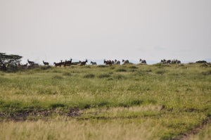 Massive herds of Tsessebe in Sibioli, largest we've ever seen