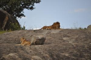 The Masaai Koppjies Lion Pride