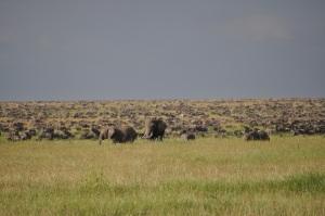The Serengeti Migration
