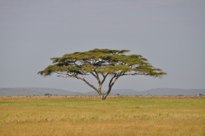 The classic African bush veld tree
