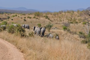 Ruaha Elephants