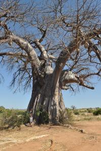 Baobab tree on route