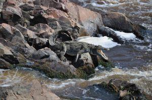 Ruaha National Park croc