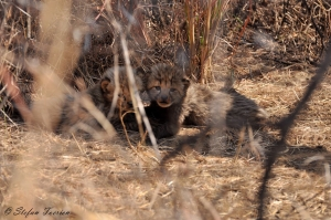 Cheetah cubs in Dinokeng