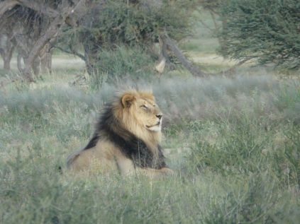 Blackmaned Kalahari Lion
