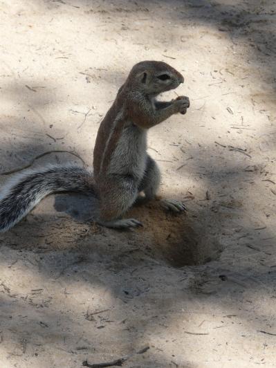 Kalahari Bush Squirrel