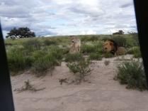 Kalahari Lion Lioness