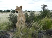 kalahari Lion standing